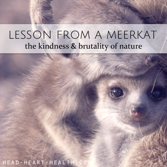 lessons from a meerkat