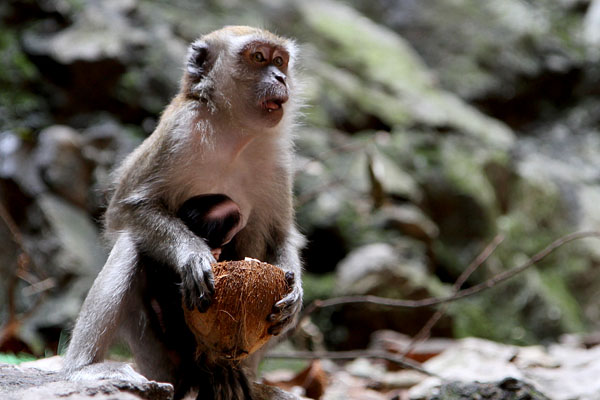 Batu Caves Monkey 3