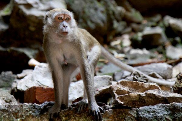 Batu Caves Monkey 2